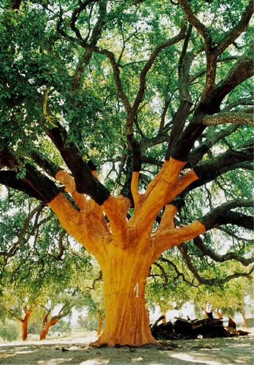 whistler-tree-cork-tree